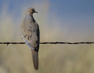 The mourning dove is the most harvested game bird in North America with estimated U.S. harvests of over 19 million annually on average from 2005-2009.